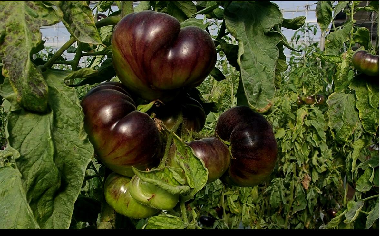 Ensayo en tomate Mar Azul – Campaña 2019 – El Ejido, Almería